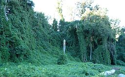 Kudzu on Trees