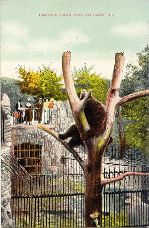 Lincoln Park Zoo Bear Postcard
