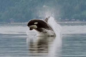 Orca in the Hood Canal