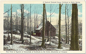 Maple Orchard Vermont Postcard