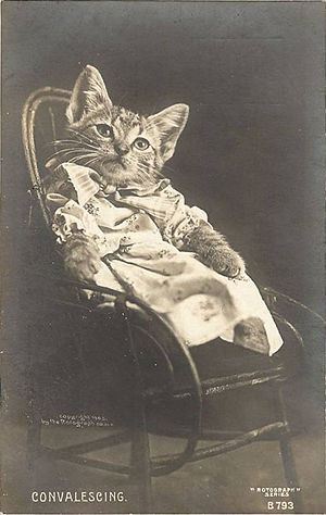Convalescing Cat Postcard