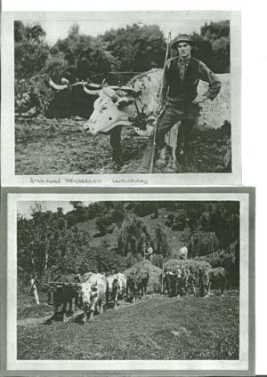 Archie Henderson with bullock team