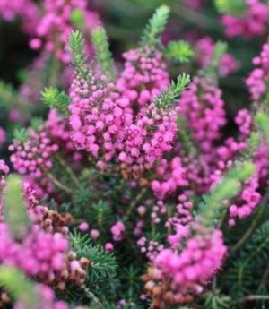 Erica vagans (Cornish heath, wandering heath)